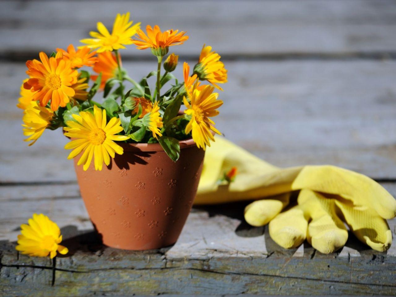 پرورش گل همیشه بهار
