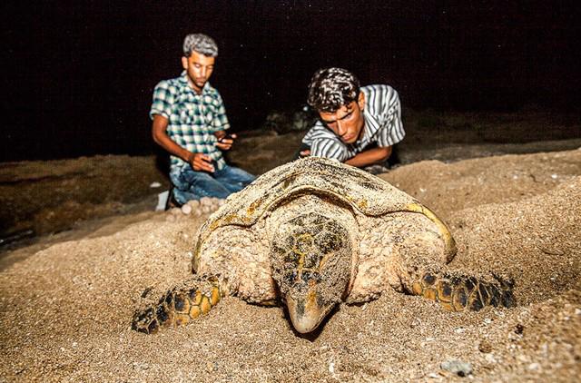 تصاویر/ تخمگذاری لاکپشتها در قشم