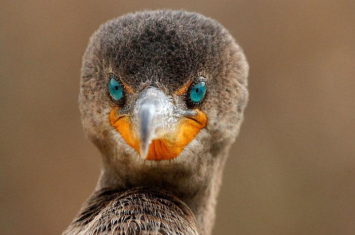 اکلانیان پرنده ای در ساحل فلوریدا. عکاس: sandy scott.