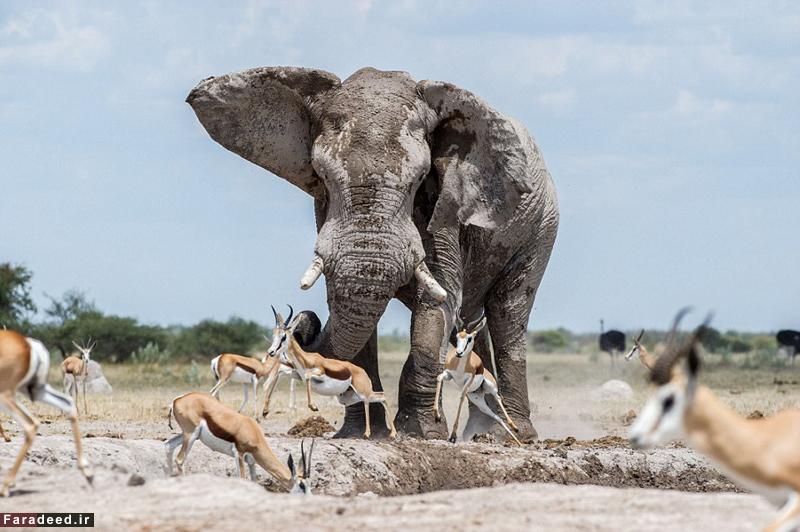 (تصاویر) فیل خودخواه و گله آهو