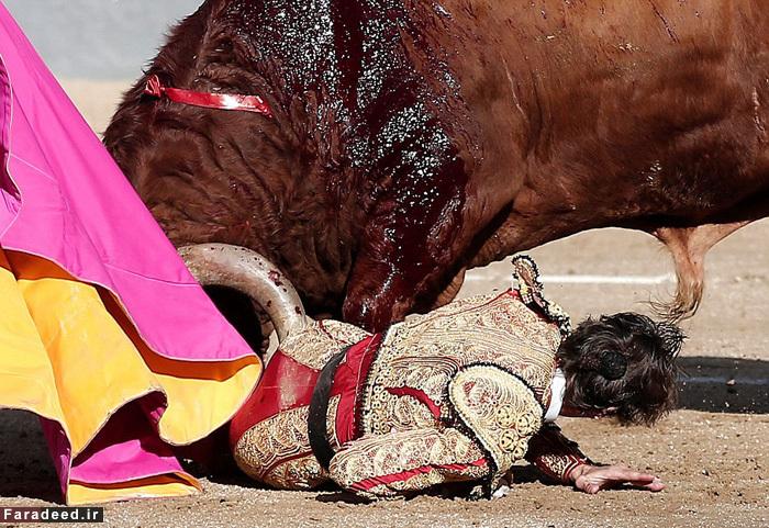 (تصاویر) ماتادور یک چشم زیر سم گاو خشمگین