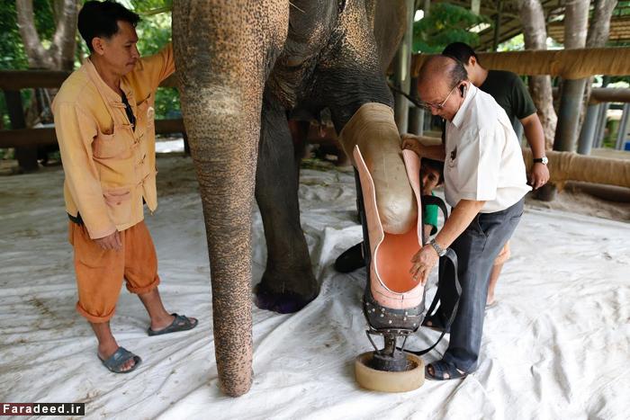 (تصاویر) اولین فیل با پای مصنوعی!