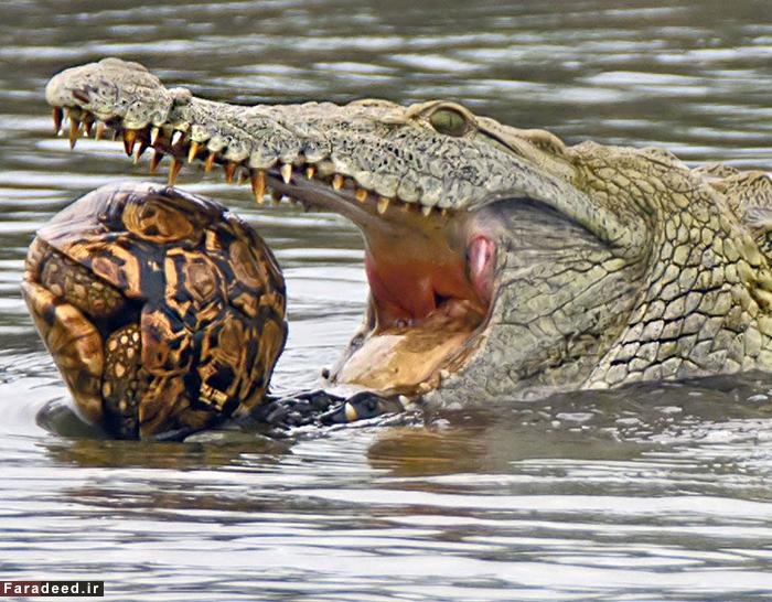 (تصاویر) نبرد مرگ و زندگی در حیات وحش