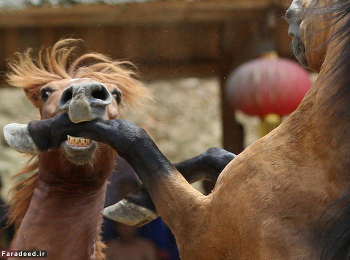 (تصاویر) دوئل خونین اسبها