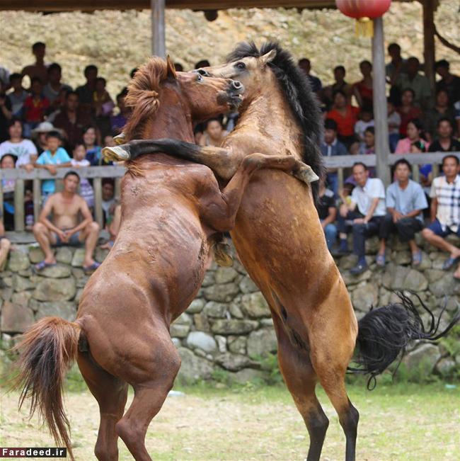 عکس دعوا حیوانات عکس دعوا اسب ها عکس حیوانات عکس چین اخبار چین
