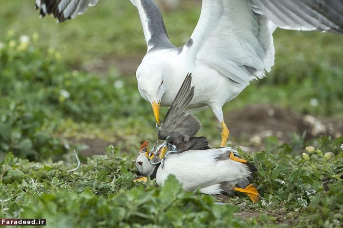 (تصاویر) زورگیری مرغ دریایی