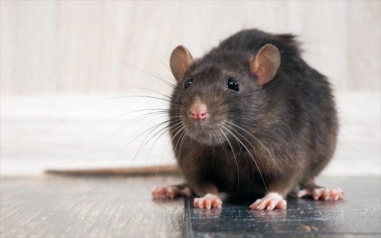(تصویر) هوس موش برای خوردن نوزاد ۱۸ ماهه!