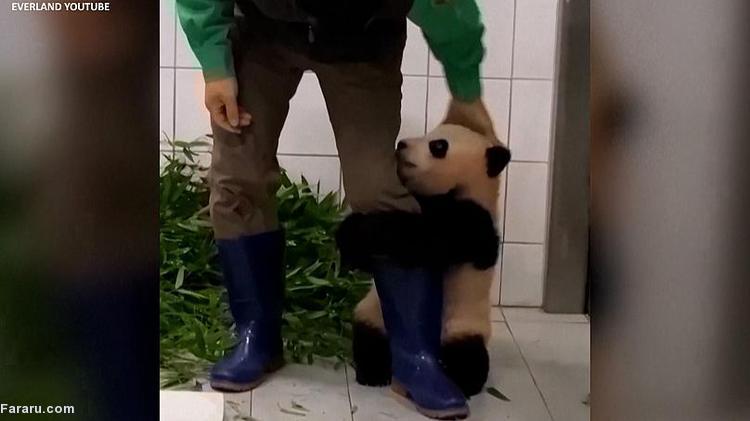 (ویدئو) علاقه عجیب بچه پاندابه نگهبان باغ وحش!