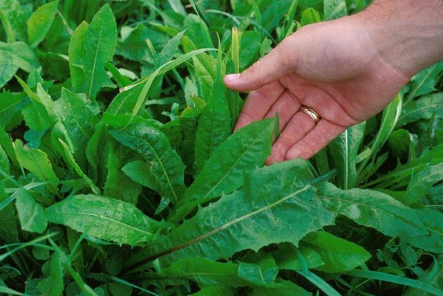 گیاه کاسنی، از کاشت در منزل تا خواص و مضرات آن در طب سنتی/آماده انتشار