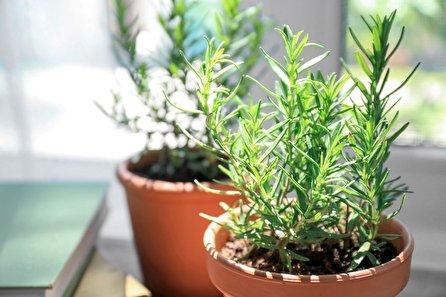 گیاه رزماری، از کاشت در منزل تا خواص درمانی