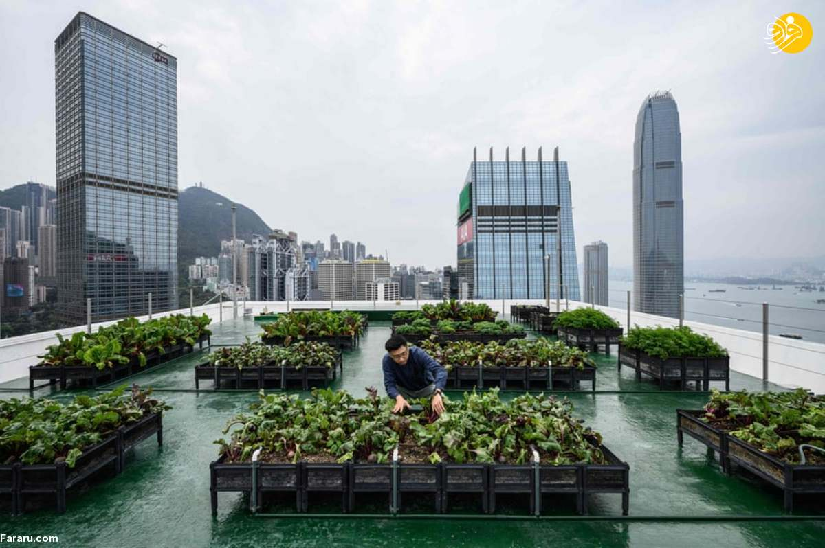 (تصاویر) کشت محصولات کشاورزی روی بام آسمانخراشها!