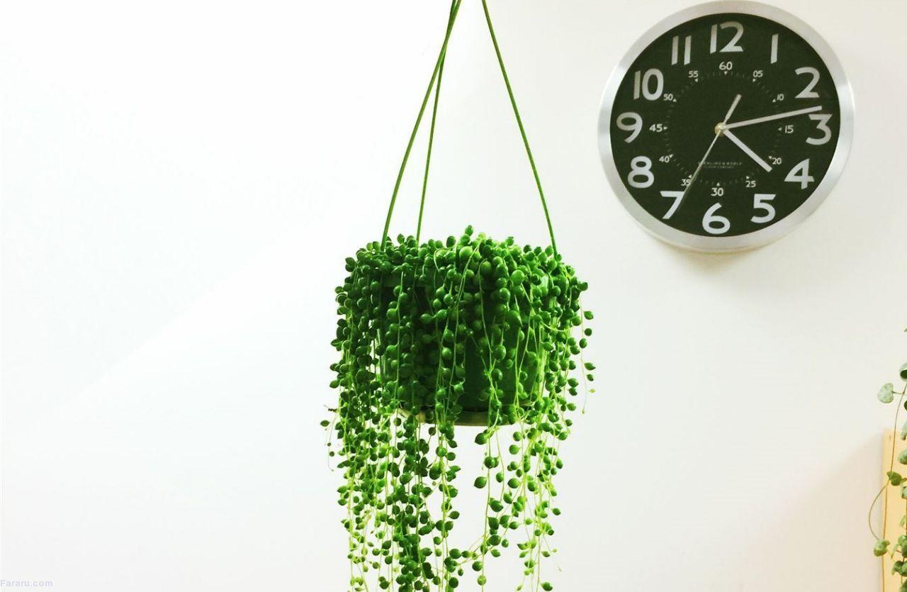 گیاه غوره ای