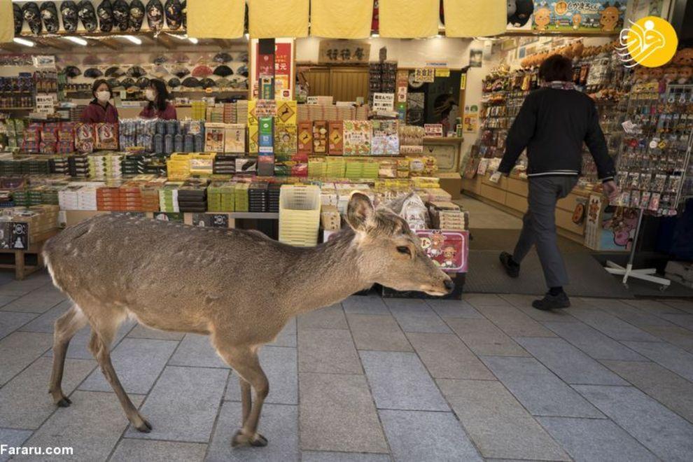 (تصاویر) ویروس کرونا؛ آدمها خانهنشین، حیوانات آزاد! – تصاوير بزرگ