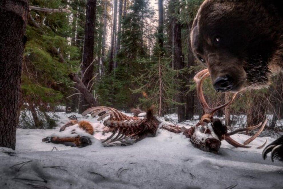 «تهمانده غذای خرس گریزلی» اثر «زک کلوتیر» / برنده بخش حیوانات و محیط پیرامون آنها